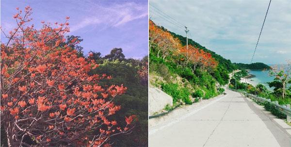 Check-in Cù Lao Chàm ngắm hoa ngô đồng nhuộm đỏ đảo xanh
